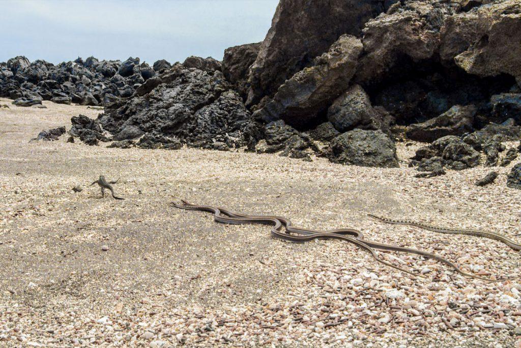 Galapagos-Racer jagen Baby-Meerechse (© Universum Film)